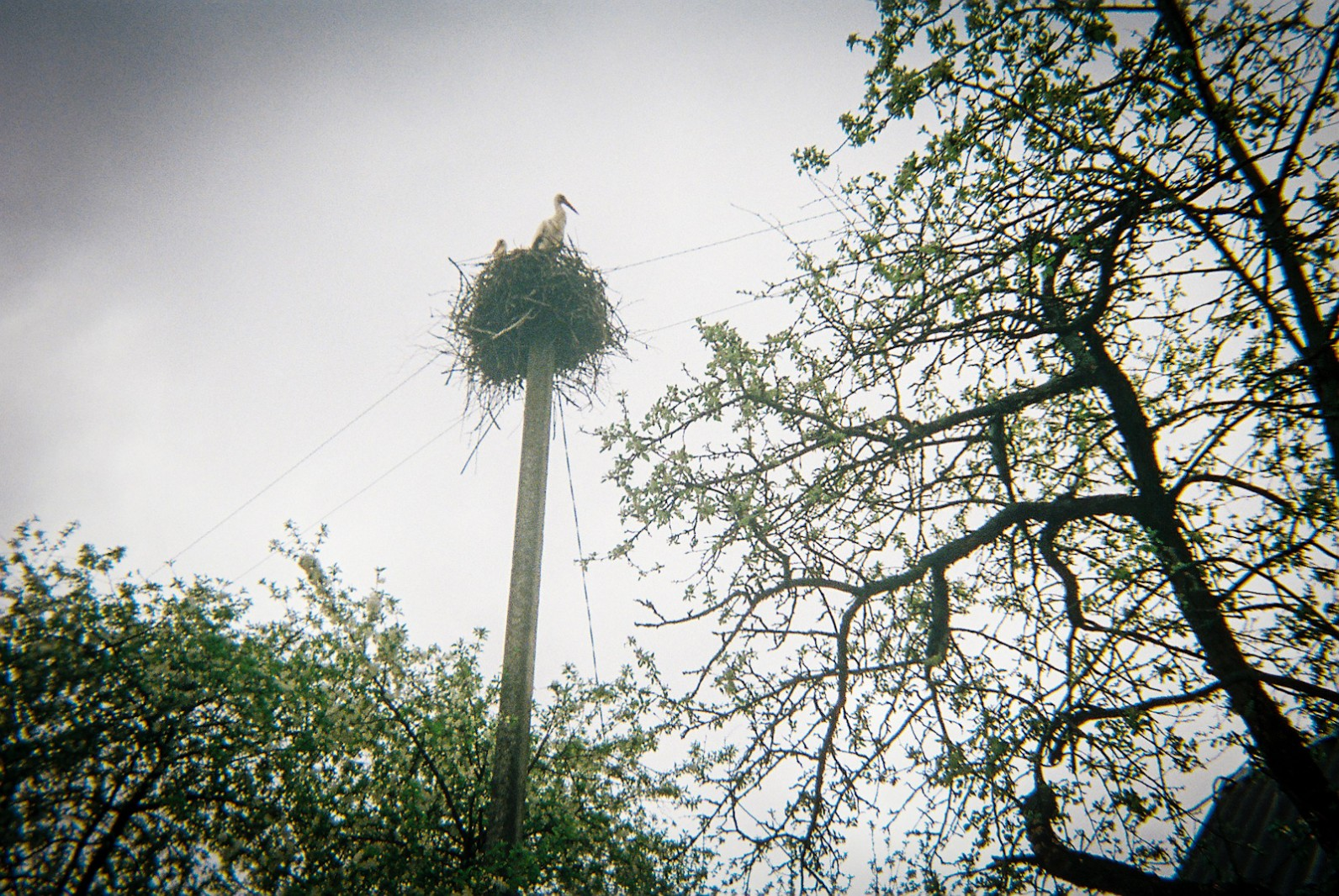 A stork next on top of a telegraph post in a Chernobyl village