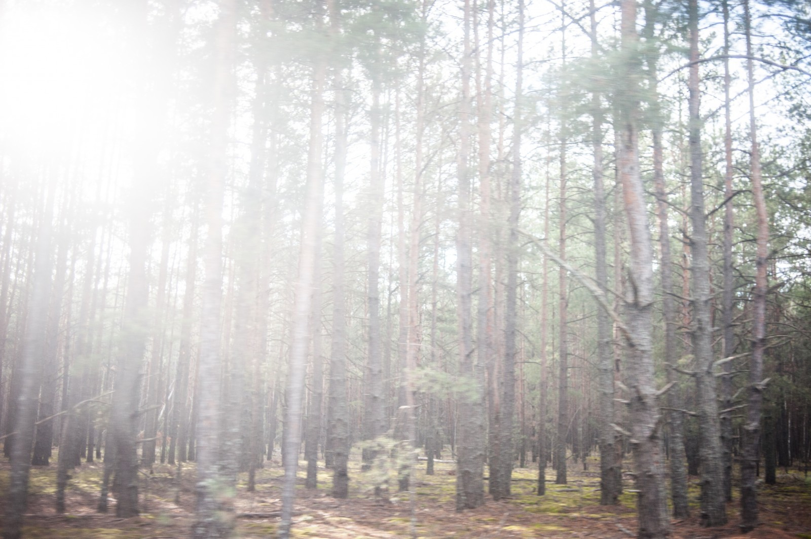 The wild forest inside the Exclusion Zone, where many people gather mushrooms and illegally hunt for game