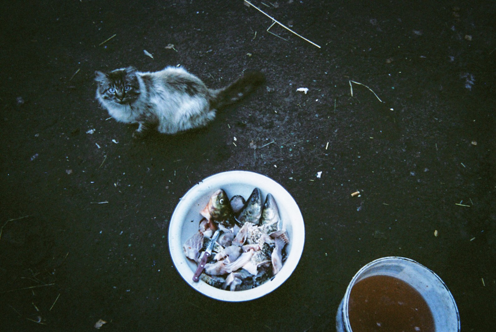 A pet cat stares at the camera near a bowl of half-prepared fish, caught from the river that runs past Chernobyl reactor number 4